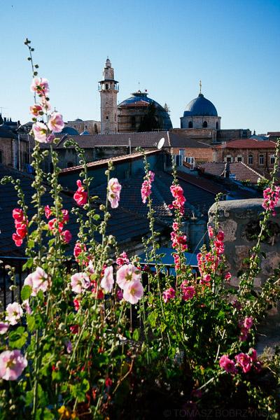 Kwiaty w Jerozolimie - malwy rosnące na dachu