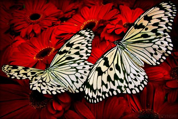 białe motyle na czerwonych kwiatach