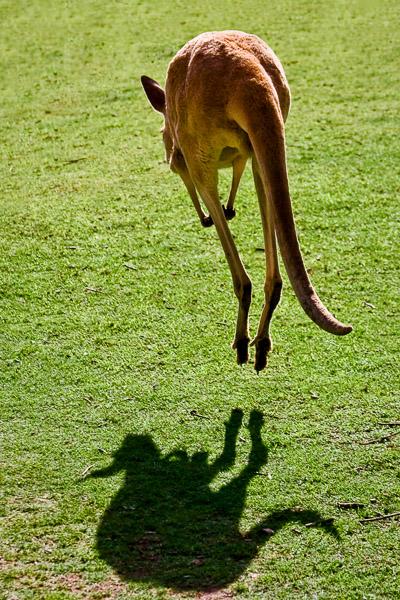 skaczący kangur